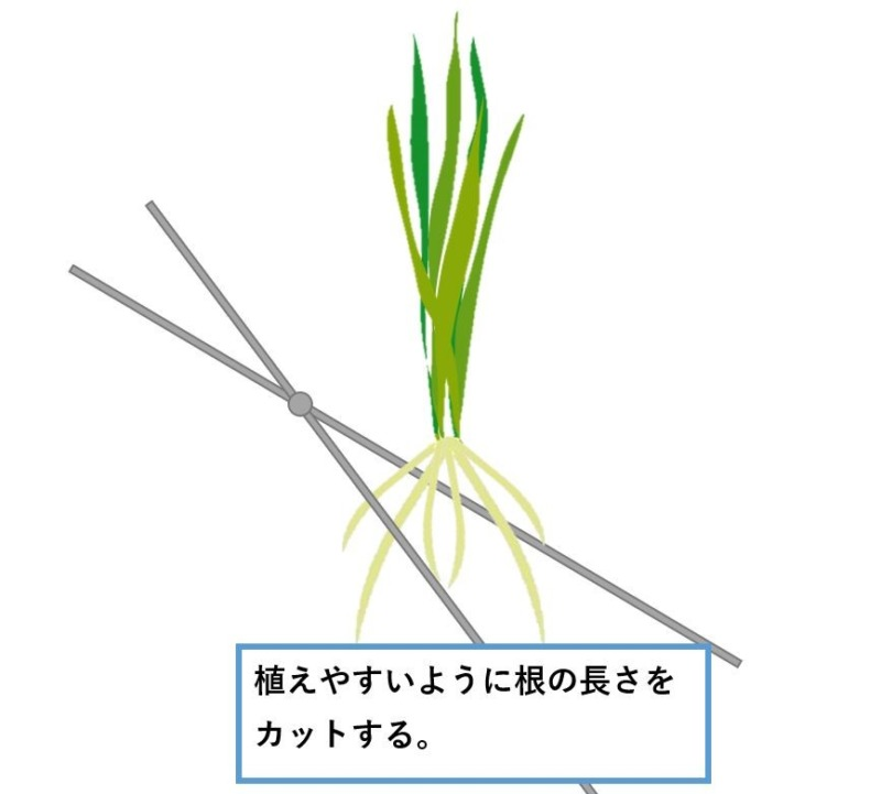 スクリューバリスネリアの植え方1