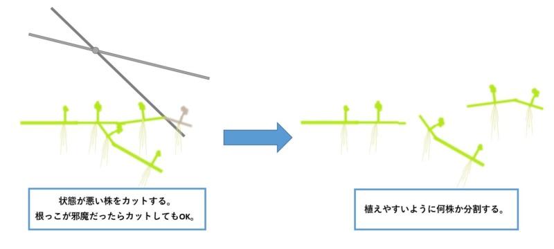 オーストラリアンノチドメ-植え方1