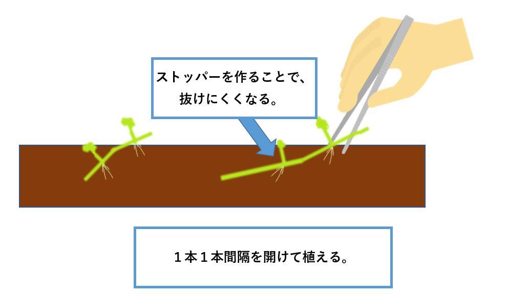 オーストラリアンノチドメ-植え方2