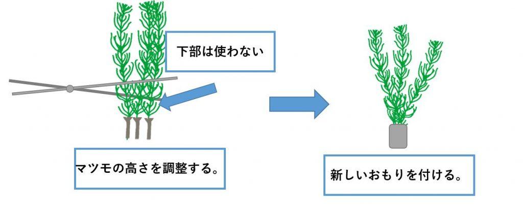 マツモ-植え方3