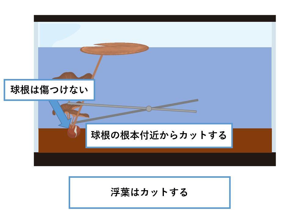 タイニムファ 浮葉 トリミング2