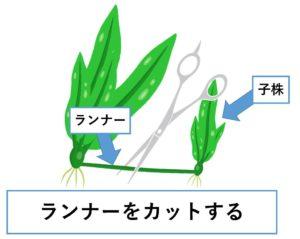 アマゾンソード 株分け